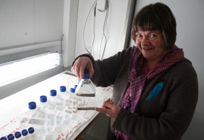 Else Nøst Hegseth ved Universitetet i Tromsø dyrker fram alger fra vinterdvale på havbunnen. Flaskene inneholder prøver fra Rijpfjorden på Svalbard. (Foto: Asle Rønning)