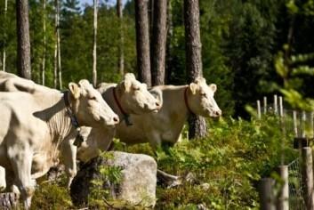 Ammekyr på skogsbeite, Sande i Vestfold. (Foto: Hanne M. Wam, Bioforsk)