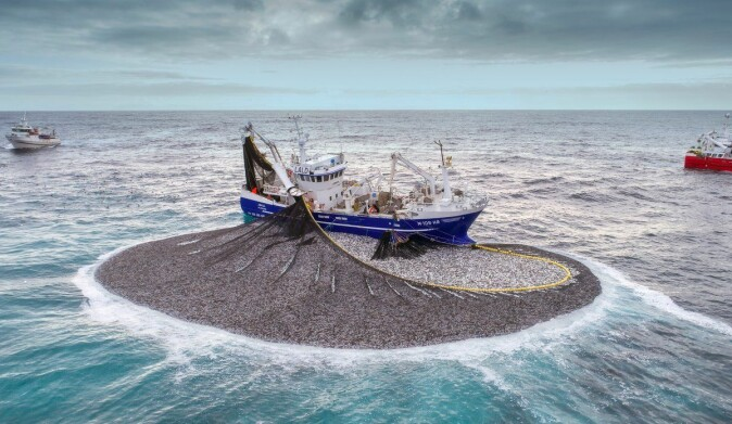 This is what it looks like when a purse seine is pulled tight around a school of fish. The photo shows fishing vessel Jøkul catching herring at Buagrunnen.
