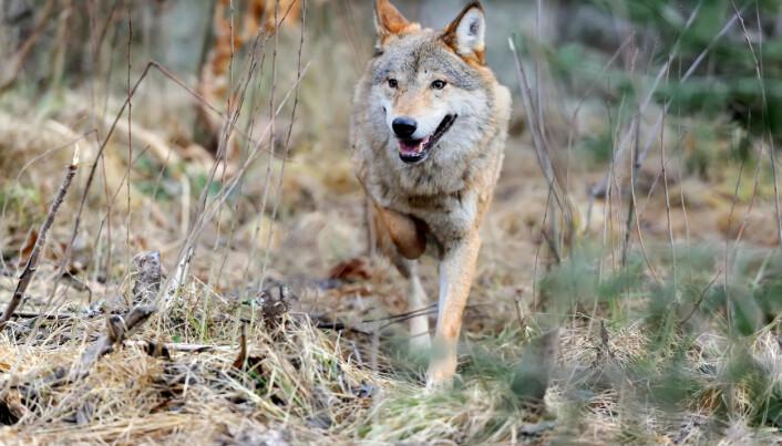 Forskeren vet mye om ulv, men har aldri sett en ute i naturen.
