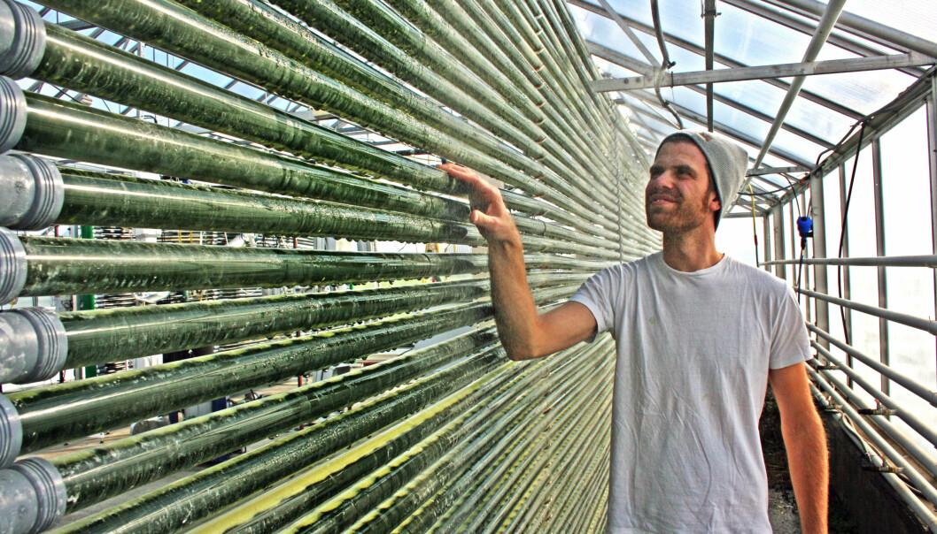"""""""Inne i rørene vokser algene som gir Omega-3. Masterstudent Anstein Freberg ved Universitetet for miljø- og biovitenskap trives godt i veksthuset. Foto: Eivind Norum, UMB"""""""