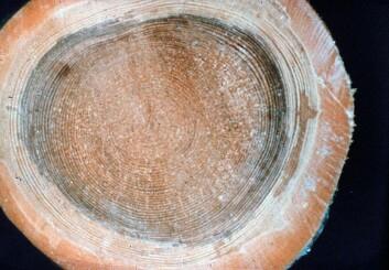 Rotråte i en stammeskive av gran. Rotkjuke er den viktigste råtesoppen i bartrær innen store områder i tempererte strøk, men den angriper også løvtrær. Råten kommer oftest opp i stammen fra rota, fra én eller flere røtter. Den mest fremskredne råten er derfor nesten alltid nederst i stammen. (Foto: Finn Roll-Hansen)