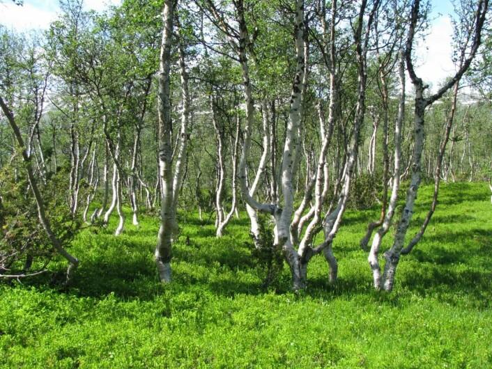 Bjørk (Betula pubescens). (Foto: Erkki Rauvala)