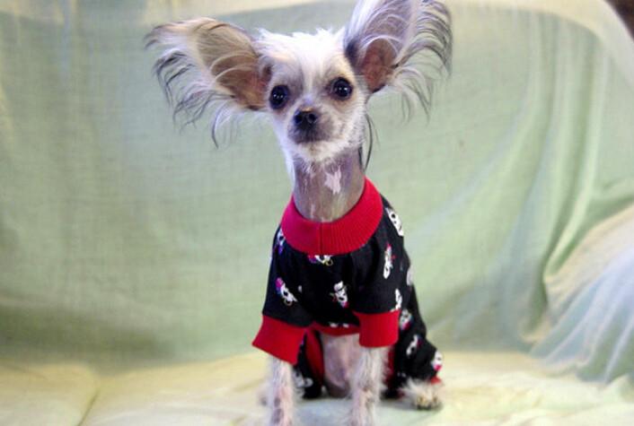 Det er OK å gi en liten hund klær så lenge det er for å holde den varm. Men det kan bli ubehagelig for hunden hvis man gjør det for sin egen forfengelighets skyld eller for å ha noe å le av. (Foto: Yolanda)