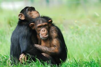 """""""Hvor medfølende er egentlig sjimpanser?(Foto: Istockphoto)"""""""