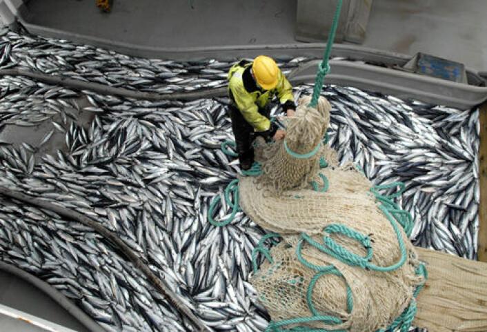 Bildet viser norsk forsknignsfangst av makrell med trål. I likhet med makrellen i vår del av Atlanterhavet flytter også makrellen utenfor kysten av Nord-Amerika nordover i takt med varmere hav. (Foto: Leif Nøttestad/Havforskningsinstituttet)