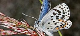 Har du sett sommerfuglen klippeblåvinge?