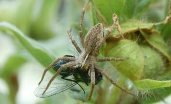 Det å drasse rundt på et svært bytte, i håp om å treffe på ei dame, gjør edderkoppen mindre lett til beins enn vanlig. Dermed øker sjansen for at han selv blir noens måltid. (Foto: Leviathan/Wikimedia Creative Commons)
