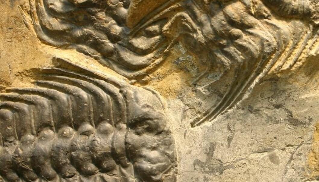 Trilobittene trakk sine siste åndedrag i tidsalderen perm. Sannsynligvis fikk de seg to slag i trynet fra naturen, som til sammen ble deres endelikt. Kevin Walsh/Flickr Creative Commons