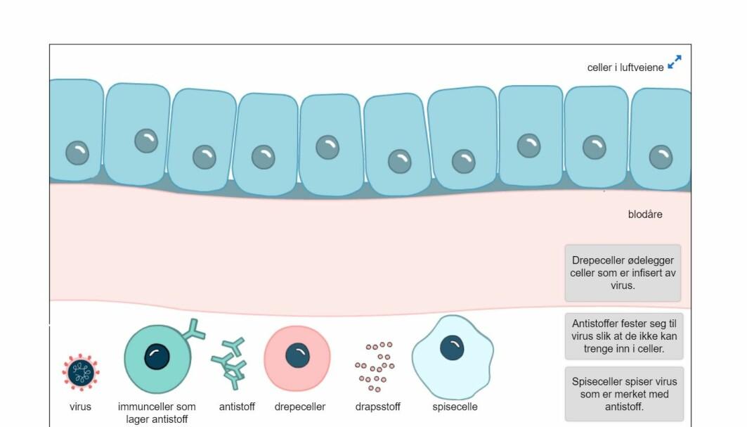 Det er forskjellige typer oppgaver i programmet. Her skal man klikke og dra for å vise hva immunsystemet gjør når det kommer virus.