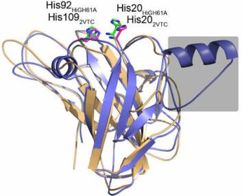 Modell av AA9-enzym fra rotkjuke. (Foto: (Illustrasjon: Skog og landskap))