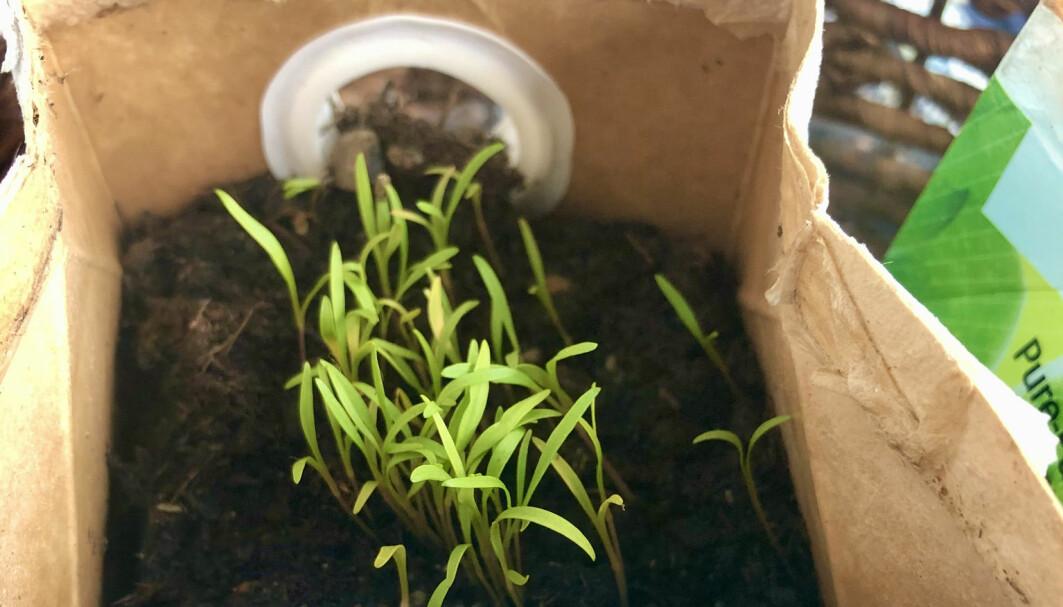 Gamle drikkekartonger kan fint gjenbrukes til dyrking av f.eks. gulrøtter. Men, undertegnede må nok plante om dersom hun skal få størrelse på gulrøttene