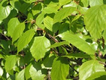 Grønne bjørkeblader. (Foto: Wikimedia commons)