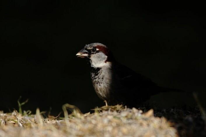 Gråspurv hann, på fôring. (Foto: Thomas Kvalnes, NTNU)