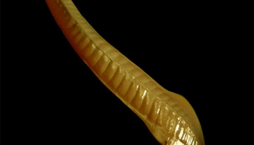 """En rekonstrusjon av Pikaiaen fra Muséum national d'histoire naturelle. <a href=""""http://commons.wikimedia.org/wiki/File:Pikaia.JPG"""">Wikimedia Commons</a>"""