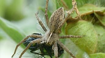 Edderkopper bytter gaver mot sex