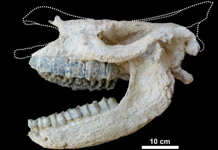 Fossiler fra vulkansk stein er sjeldne, men når de først bilr funnet er de gjerne godt bevart. Her skallen til det forhistoriske neshornet Ceratotherium neumayri. (Foto: Pierre-Olivier Antoine)
