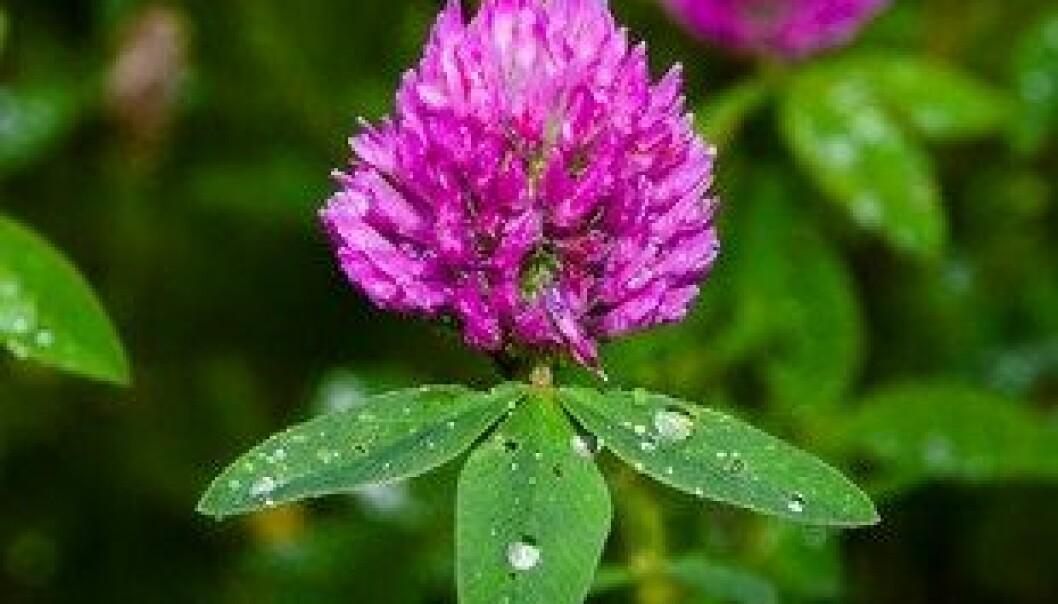 Rødkløver (Trifolium pratense) er en plante som er utbredt på enger, skrenter og beitemarker. Sauer og andre husdyr kan få fertilitetsforstyrrelser hvis de gresser lenge på rødkløvermark. Det skyldes innholdet av fytoøstrogener, isoflavoner, som kan virke som erstatning for dyrets eget østrogen, estradiol. Colourbox