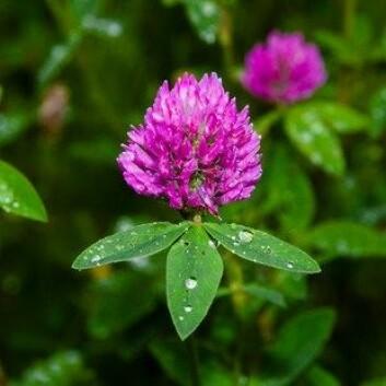 Rødkløver (Trifolium pratense) er en plante som er utbredt på enger, skrenter og beitemarker. Sauer og andre husdyr kan få fertilitetsforstyrrelser hvis de gresser lenge på rødkløvermark. Det skyldes innholdet av fytoøstrogener, isoflavoner, som kan virke som erstatning for dyrets eget østrogen, estradiol. (Foto: Colourbox)
