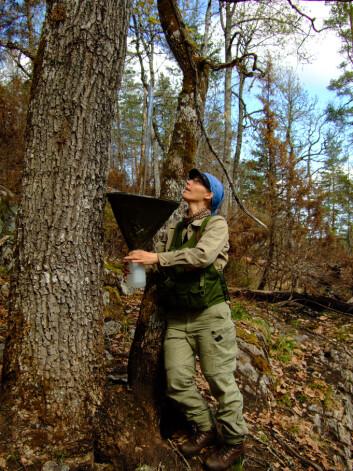 Anne Sverdrup-Thygeson henger opp insektfeller i en eik er fra skogbrannområdet i Froland i Aust-Agder, det som i dag er Jurdalsknuten naturreservat. (Foto: Tor Erik Brandrud / NINA)