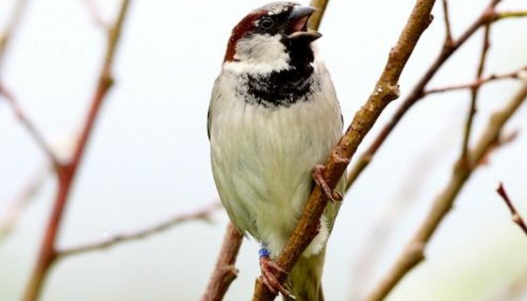 Tidlig vår en fare for fugleunger