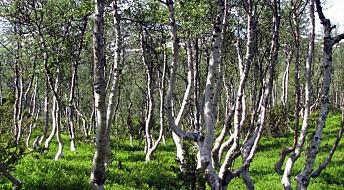 Ukas art: Bjørka – treet i våre hjerter!