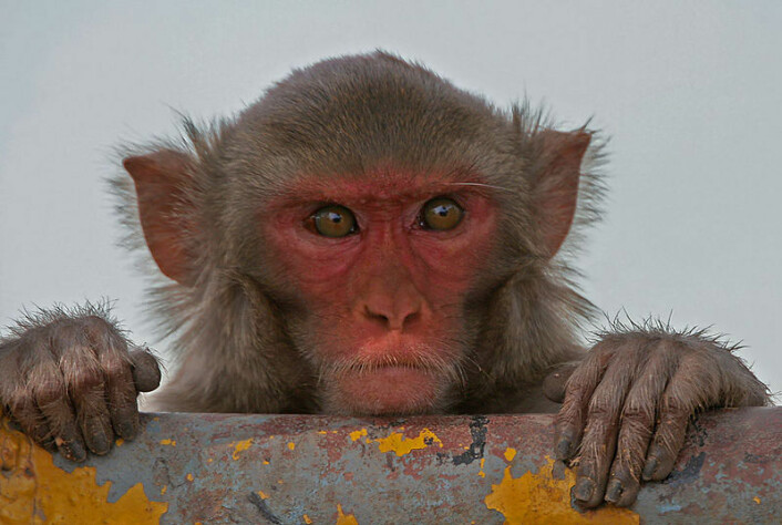 Rhesusape (Macaca mulatta) (Foto: J.M.Garg, Wikimedia Commons, se lisens)