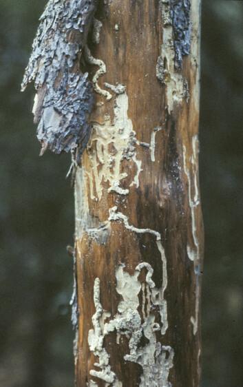 Når trær dør koloniseres de av en rekke insektarter som først konsumeres den næringsrike vekstsonen mellom barken og veden. Disse gnagemerkene er fra en trebukk. (Foto: Jogeir Stokland / Skog og landskap)
