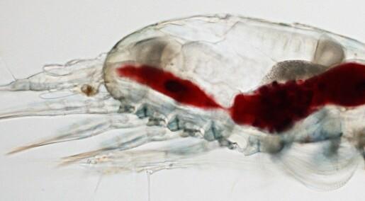 Dette dyret kan redde den norske hummeren