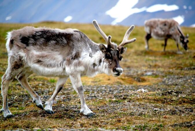 Forskerne har også sett på hvordan villrein på Svalbard påvirkes av klimaendringene.
