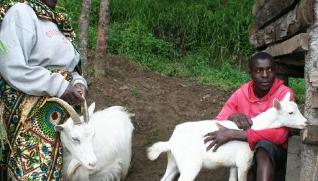 Elitha Fabian har hatt norske geiter siden 1988, året da melkegeitprosjektet kom til landsbyen. Nå har hun 15 geiter. Her får hun hjelp fra barnebarnet Gaitan Daniel Kulinyangwa til å passe dem. Asle Rønning