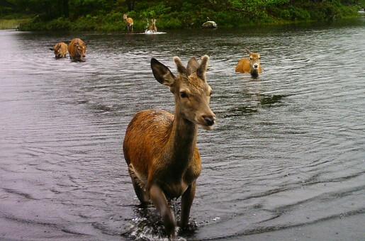 Våren er safaritid i låglandet, men snart lokkar fjellet hjorten ut på tur
