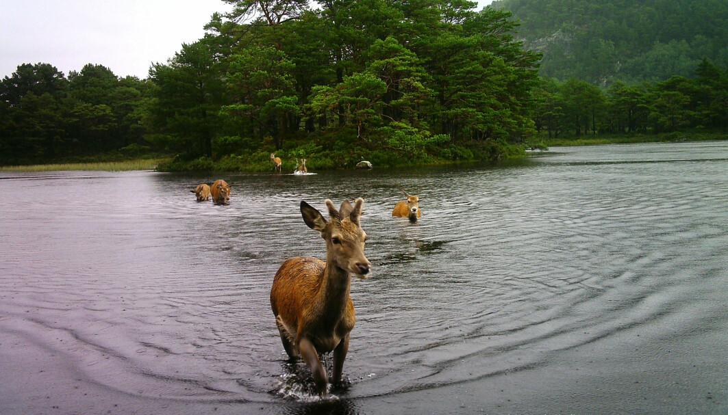 Hjorten bader og svømmer både for å forflytte seg i landskapet, for å krysse fjordar eller vatn, eller berre for å kosa seg. Sjå videoane i innlegget som visar hjortens sosial leik og kos.