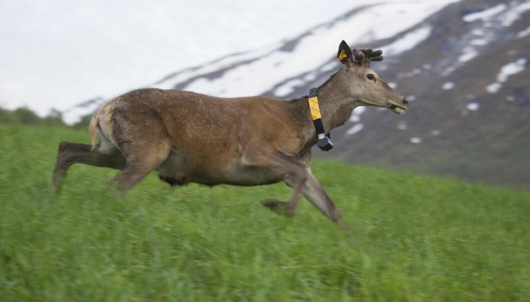 Denne hjorten har ein GPS-klave som gjer at forskarar kan hente posisjonsdata som gjer det mogeleg å finne ut litt av kvart om dyra sine bevegelser.