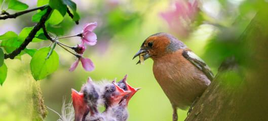 Skal du hjelpe en fugleunge som har falt ut av redet?