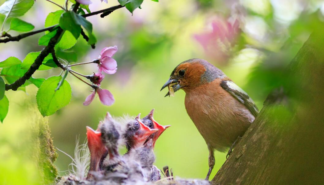 For fugler som bygger rede har ikke ungenes lukt så mye å si, mener forsker.