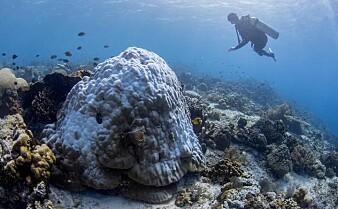 Bakterier hjalp truede koraller