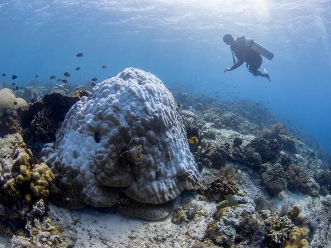Koraller av slekten Porites er viktige revbyggere i store deler av Det indiske hav og Stillehavet. Nå er de truet av såkalt korallbleking.
