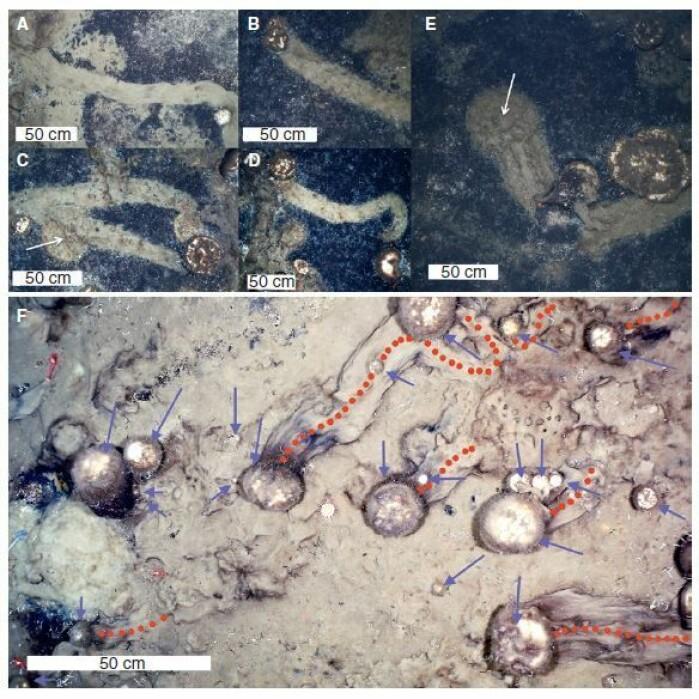 Bildene viser typiske stier etter svampene. Røde stiplede linjer viser retningen.