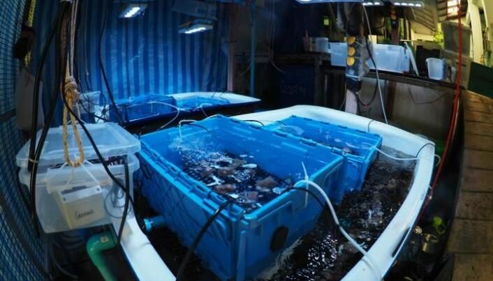 I disse tankene testet forskerne ut transplantasjon av bakterier i koraller.
