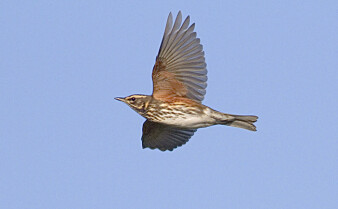 Forskere frykter at trekkfugler dør av utmattelse på grunn av lysforurensning