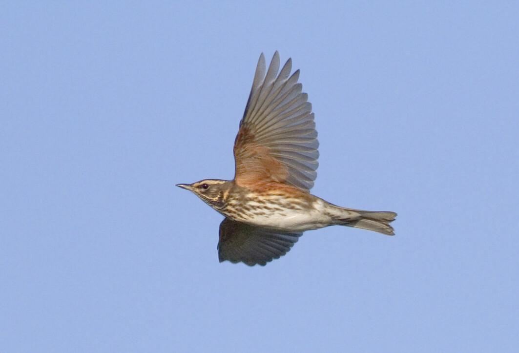Forskerne registrerte at det var mye mer fuglekvitter fra trosten om natten i belyste områder enn på mørkere steder. Det kan bety at trostene er desorienterte fra lysene.