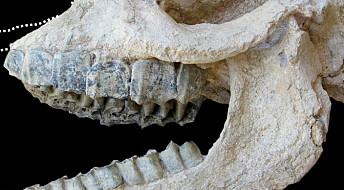 Neshornskalle funnet i vulkansk stein