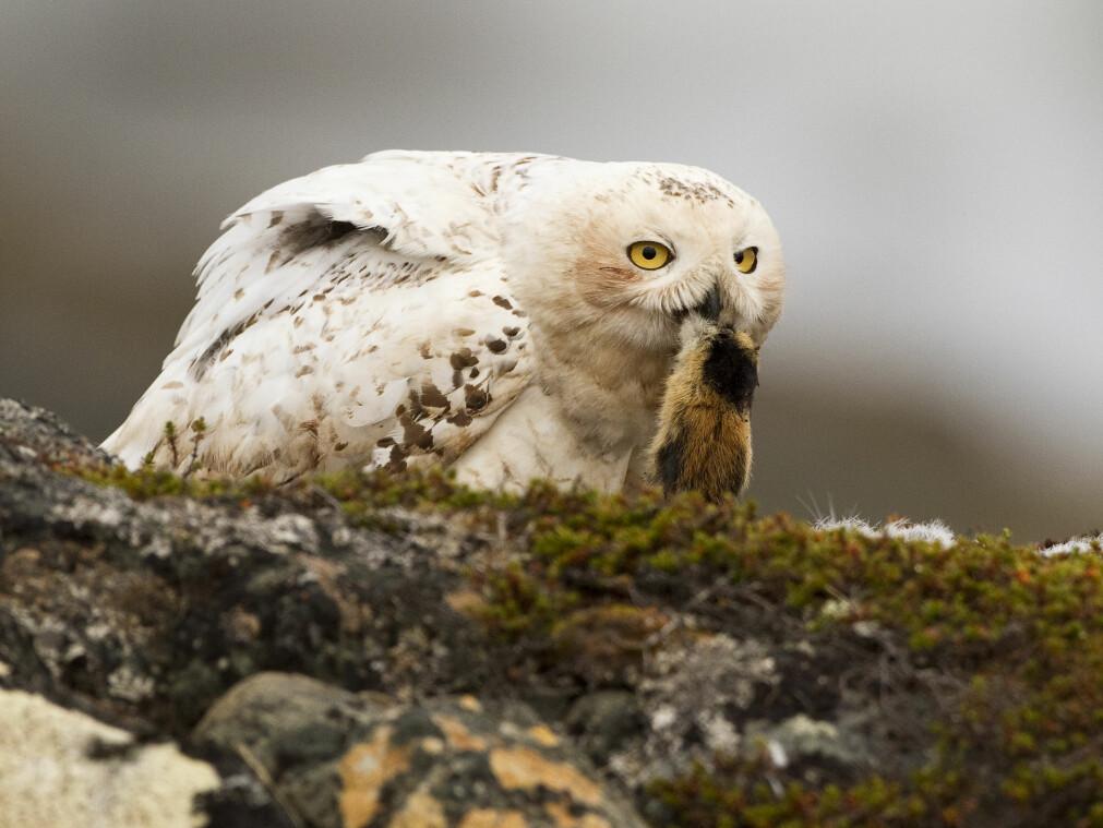 Tidligere var hekkende snøugle et vanlig syn i den lav-arktiske tundraen i Finnmark, men de siste årene har fuglen blitt sett stadig sjeldnere. Det kan skyldes nedgang av lemen, som er hovedføden til snøugla.