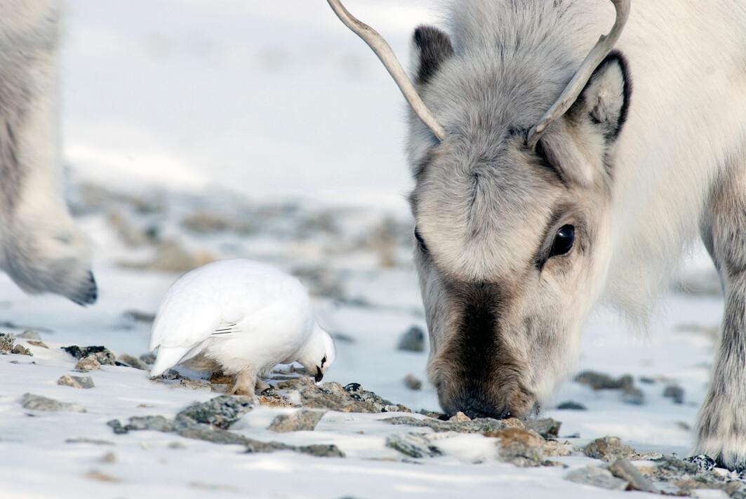 Økosystemet på land på Svalbard har bare tre overvintrende arter av store dyr som holder til over hele øygruppen. Disse er svalbardrype, svalbardrein og fjellrev. Det som skjer med én art, påvirker de andre artene. Flere reinsdyr fører naturlig nok til flere reinsdyrkadavre. Fjellreven nyter godt av kadavrene, og revebestanden øker.
