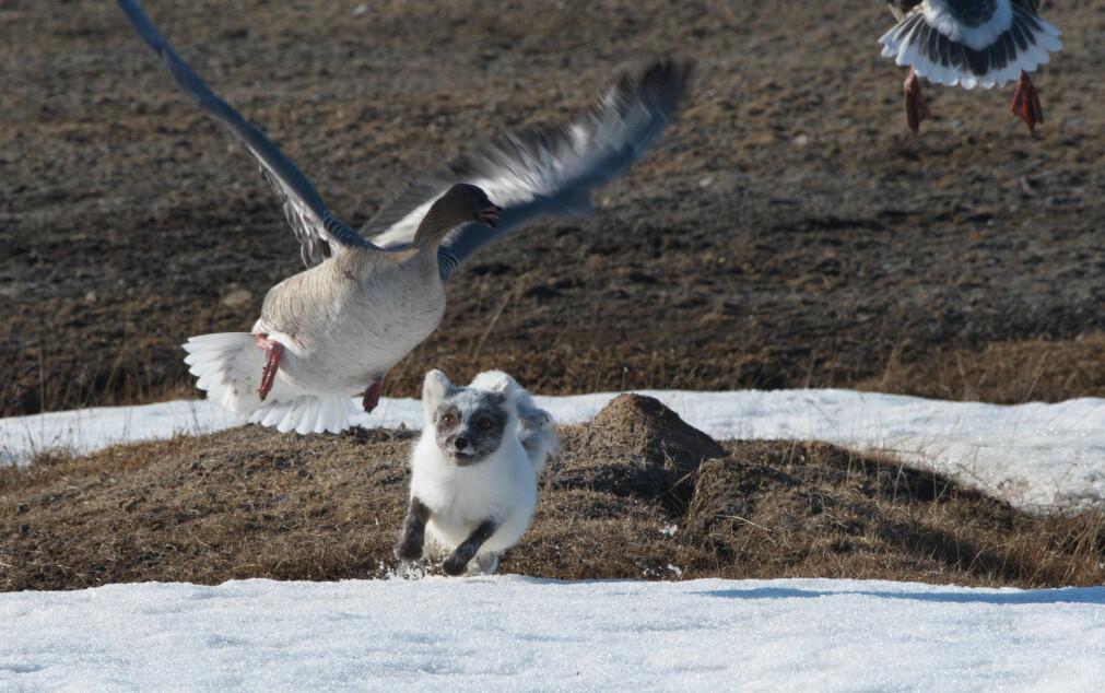 Om sommeren er gjess, sjøfugl og hekkefugler vanlige byttedyr for fjellreven på Svalbard. Om vinteren når det er knapt med bytte, er reinsdyrskadaver viktig føde.