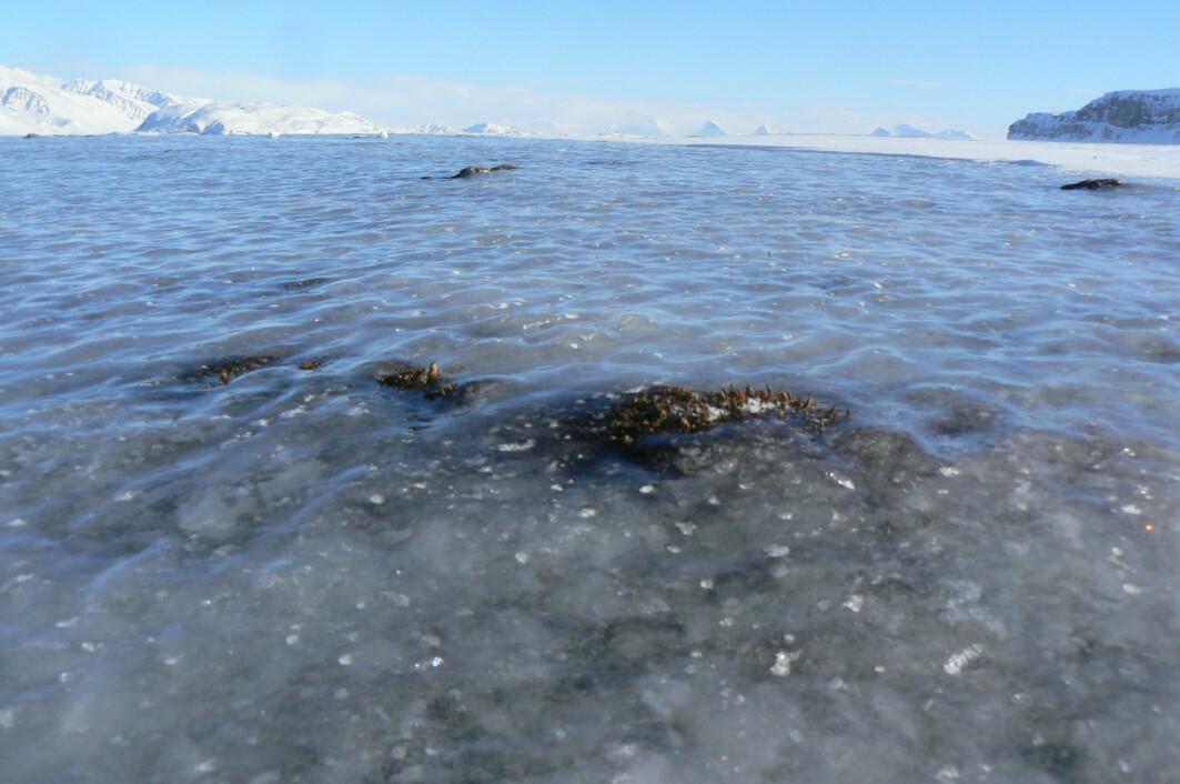 Ising på den frosne bakken er utbredt både både på Svalbard og i Finnmark. Isen blokkerer tilgangen på mat for rein, rype og smågnagere. Det får konsekvenser for dyrenes overlevelse og formering.