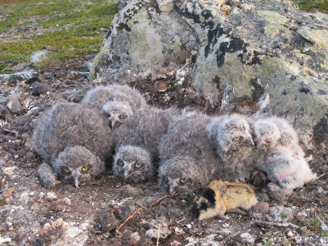 Snøuglekyllinger med lemenbytte. Dette er to arter som viser nedgående trend. Snøugla har gått så sterkt tilbake i Norge at den nå er oppført som sterkt truet i den norske rødlista. Det går stadig lengre tid mellom hver gang det er et toppår med lemen.