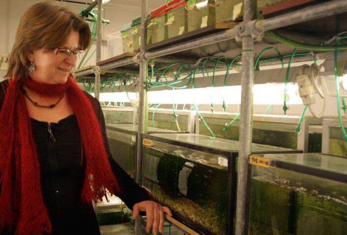 I 1998 hentet professor Gunilla Rosenqvist en gjeng med guppyer på Trinidad, og disse har nå vært forskningsfisk ved NTNU i mange generasjoner. (Foto: Ida Korneliussen)