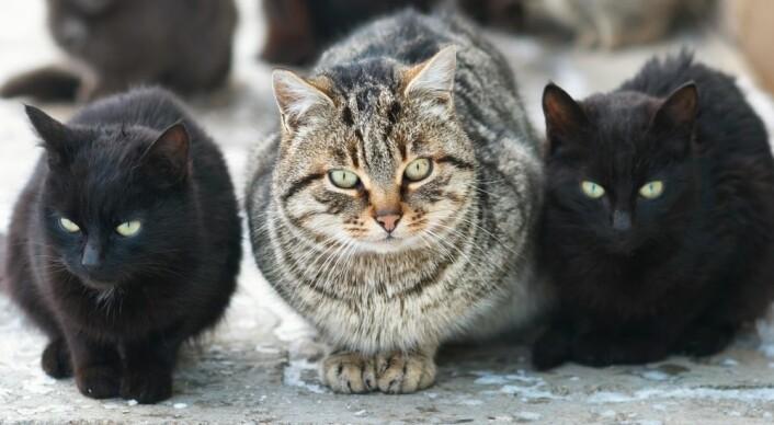 Selv om katter er individualister, kan de ha det fint sammen. Foto: Colourbox